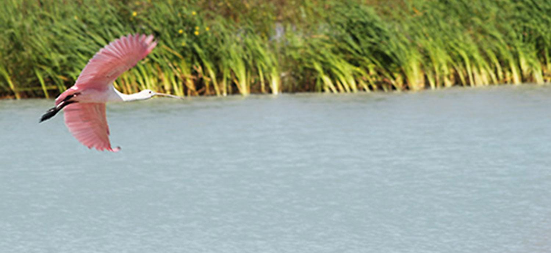 Roseate Spoonbill at wetland
