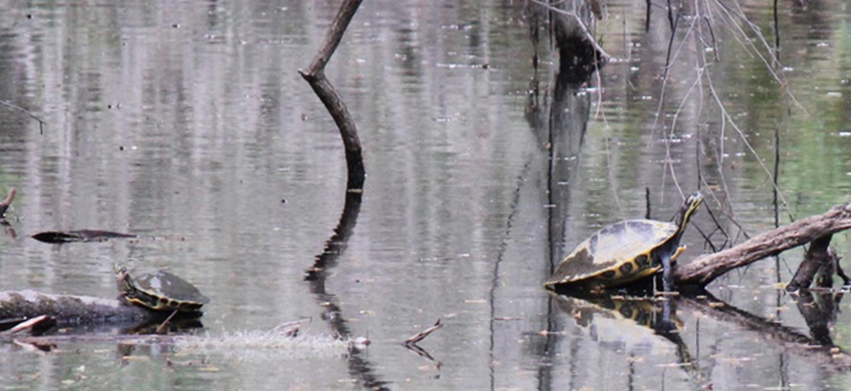 Turtles in wetland